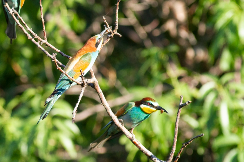 Bee-eaters, 13 May 2019