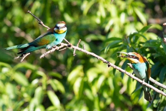 Bee-eaters, on 13 May 2019