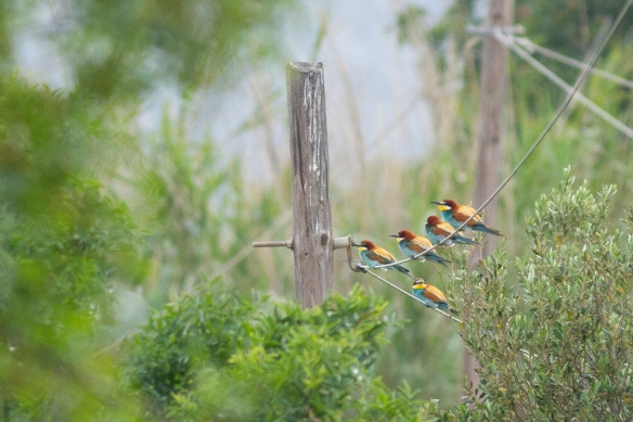 Five bee-eaters, on 10 May 2019