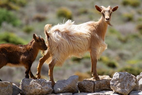 Goats, 8 May 2019