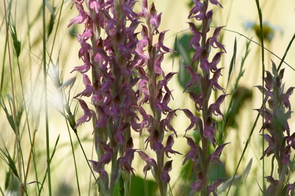 Holy orchids, 8 May 2019