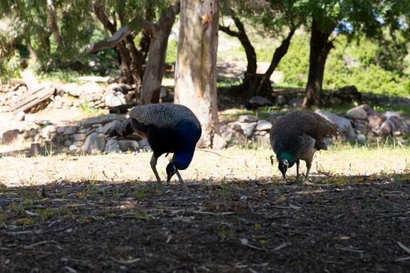 Peacocks, 3 May 2019