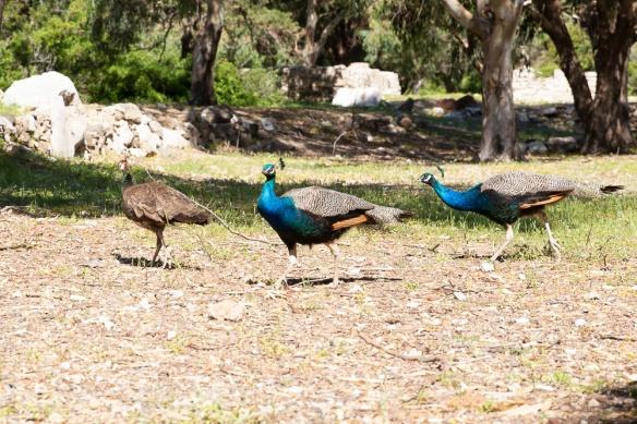 Peacocks, on 3 May 2019
