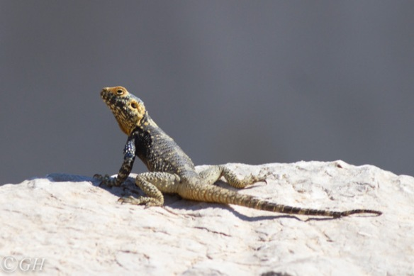 Sling-tailed agama, 12 May 2019