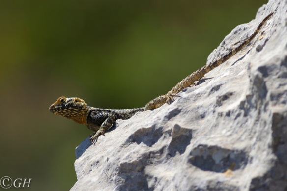 Sling-tailed agama lizard, 12 May 2019
