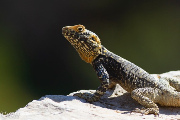 Sling-tailed agama, on 12 May 2019