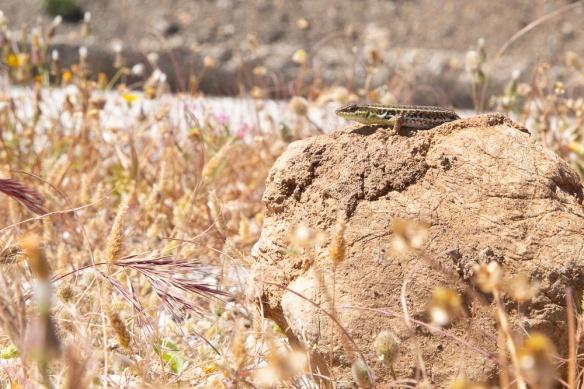 Snake-eyed lizard, 3 May 2019
