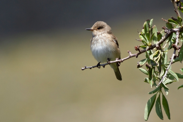 Spotted flycatcher, 8 May 2019