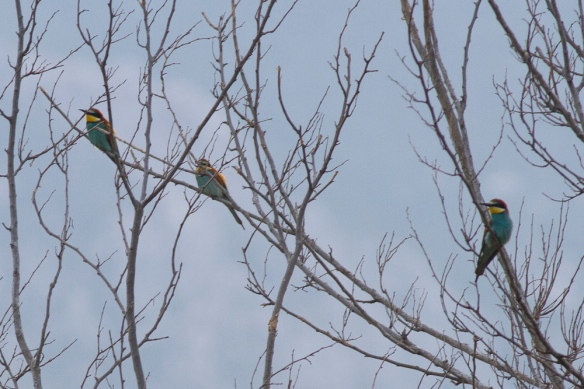 Three bee-eaters, 11 May 2019