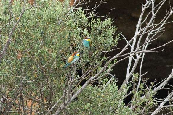 Two bee-eaters, 10 May 2019