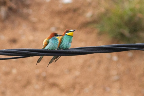 Two bee-eaters, on 10 May 2019