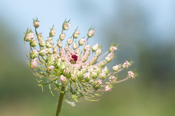 Wild carrot, 9 May 2019