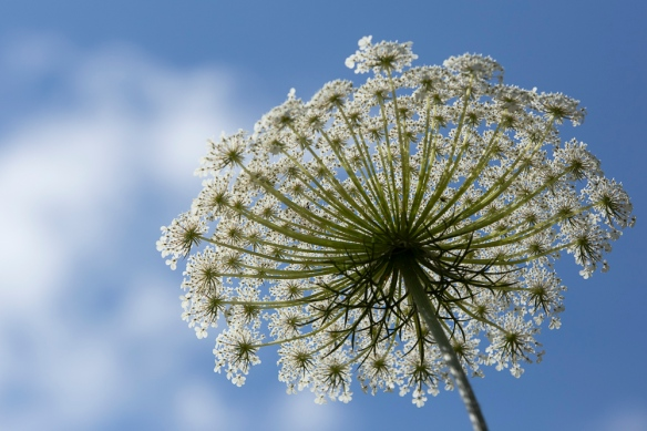 Wild carrot, on 9 May 2019