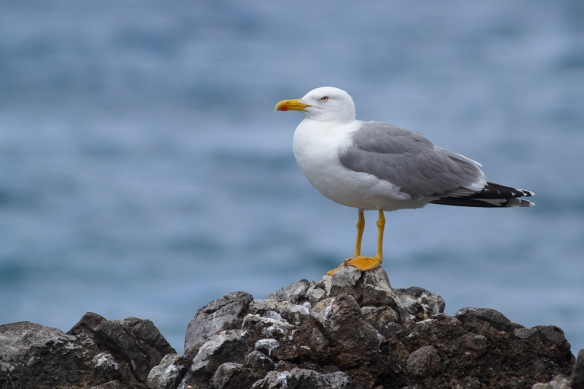 Yellow-legged gull, 7 May 2019