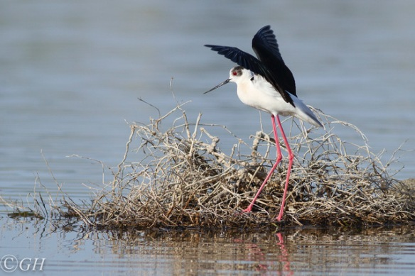 Black-winged stilt, 15 May 2019