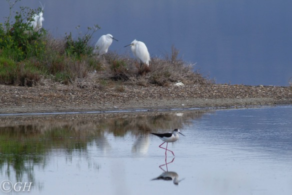 Black-winged stilt and little egrets, 15 May 2019