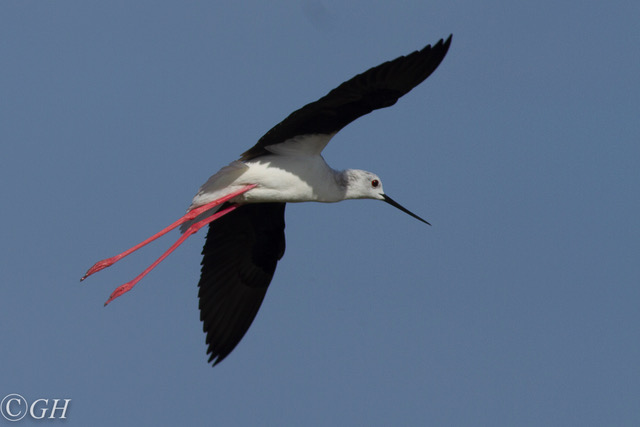 Black-winged stilt, flying, 15 May 2019