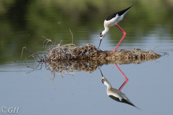 Black-winged stilt, Kos, 15 May 2019