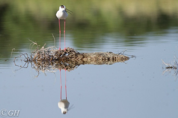 Black-winged stilt, on 15 May 2019
