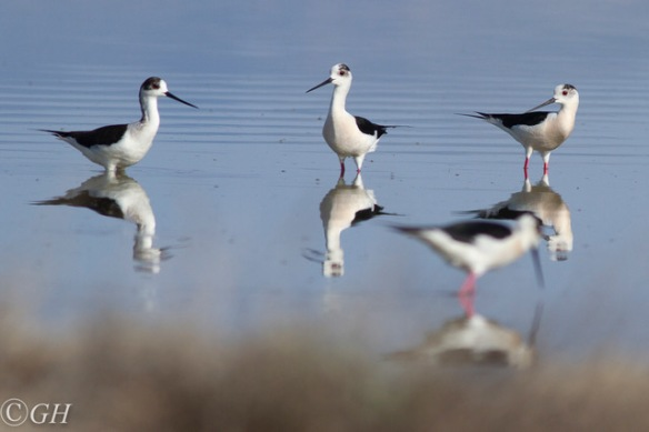 Black-winged stilts, 15 May 2019