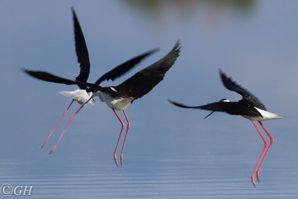 Black-winged stilts, Kos, 15 May 2019