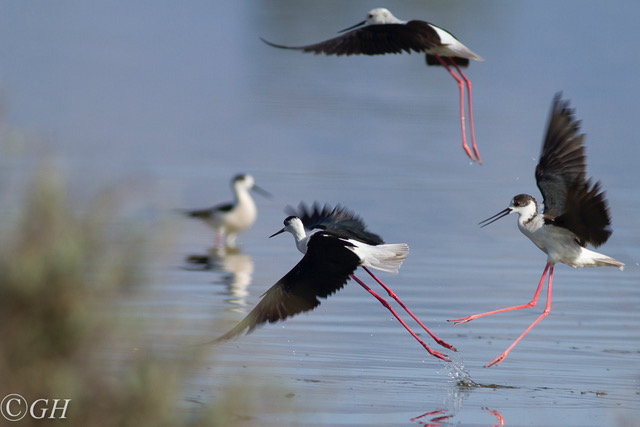 Black-winged stilts, on 15 May 2019