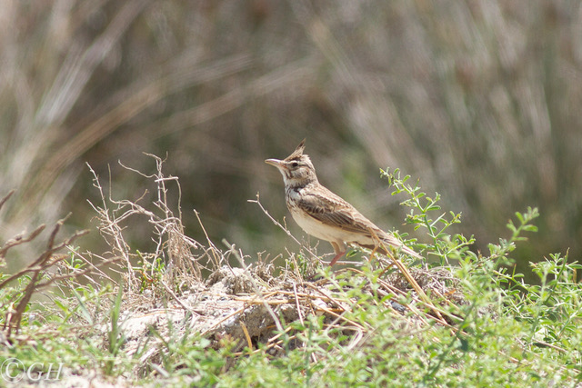 Crested lark, 15 May 2019