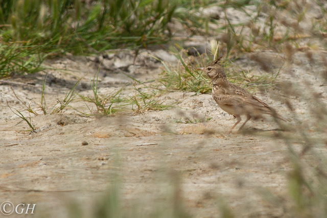 Crested lark, Kos, 15 May 2019