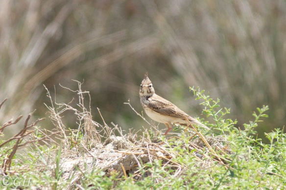 Crested lark, on 15 May 2019