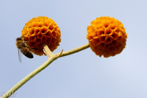 Honeybee, 2 June 2019
