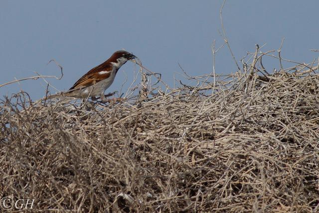 House sparrow male, Kos, 15 May 2019