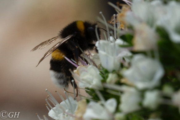 Large earth bumblebee, 2 June 2019