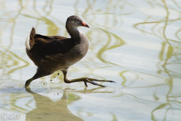 Moorhen, 15 May 2019