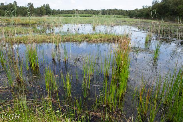 Naardermeer marsh plants, near dragonfly, 19 August 2019