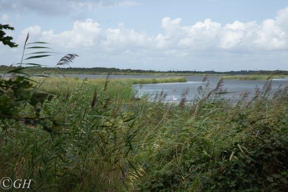 Naardermeer mute swan, 19 August 2019