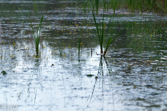 Fringed water lilies, Terschelling, 17 September 2019