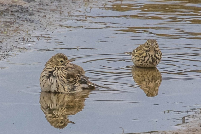 Meadow pipits, Terscheling, 20 September 2019