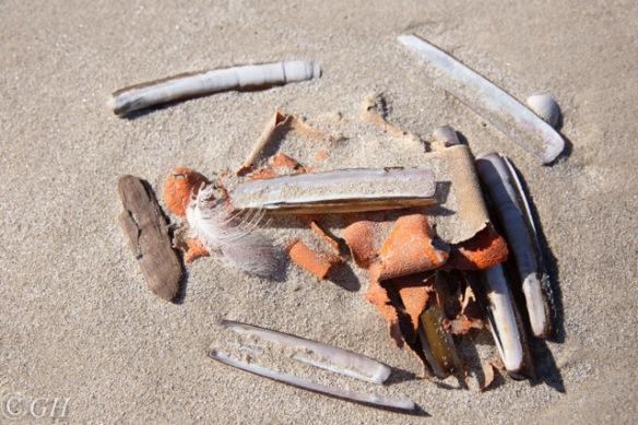 Atlantic jackknife clam shells, Terschelling, 21 Sepember 2019