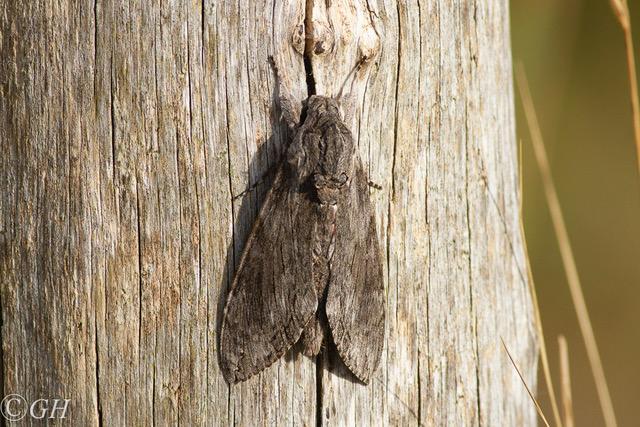 Privet hawk moth, on 22 September 2019, Terschelling
