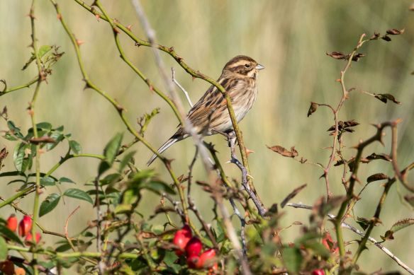 Reed bunting female, 21 September 2019