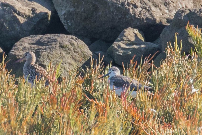 Bar-tailed godwit and greenshank, Terschelling, 22 September 2019