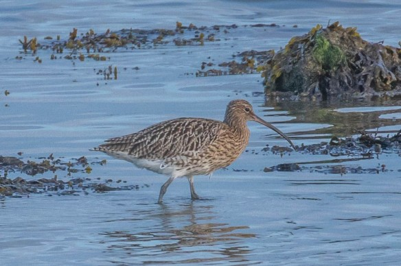 Curlew, Terschelling, 22 September 2019
