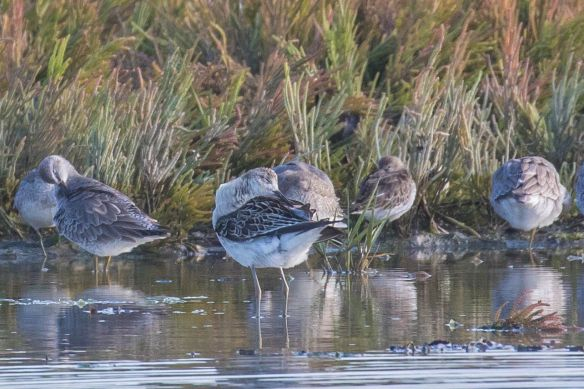 Greenshanks, 22 September 2019