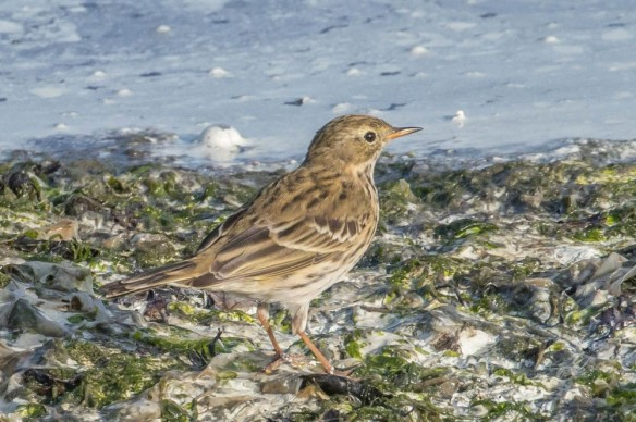 Meadow pipit, 22 September 2019