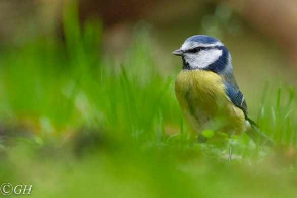 Blue tit, 25 October 2019