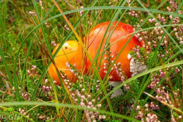Fly agarics, 25 September 2019