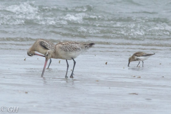 Godwits and dunlin, Terschelling, 28 September 2019
