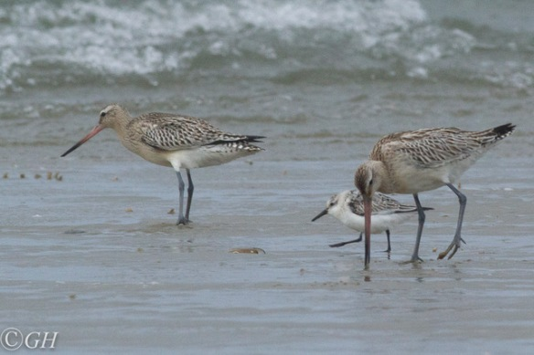 Godwits and sanderling, Terschelling, 28 September 2019