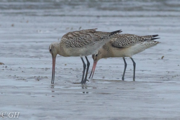 Godwits, Terschelling 28 September 2019