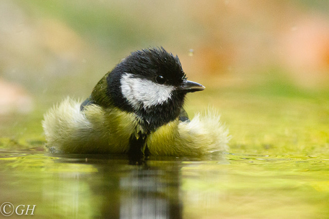 Great tit, 25 October 2019